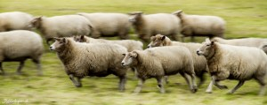 Need for Sheep - Schleswig Holstein Editon