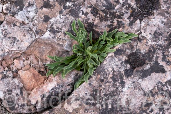 Växt i stenskreva