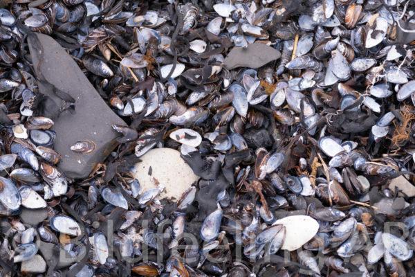 Skal av musslor på marken