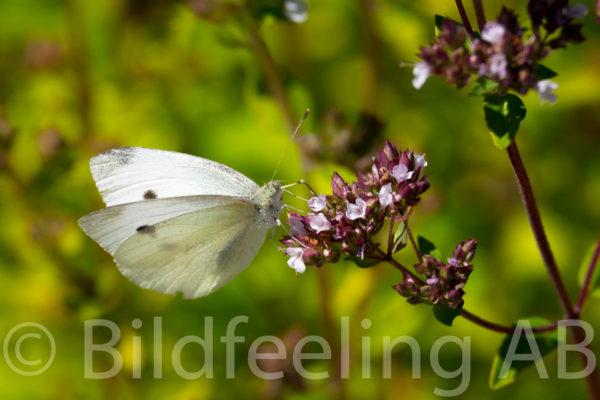 Kålfjäril på blomma