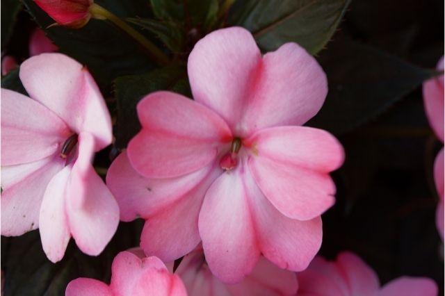 Cam Güzeli Çiçeği Bakımı ve Çoğaltılması Nasıl Yapılır?
