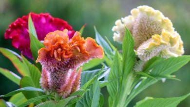Horoz İbiği Çiçeği Bakımı ve Özellikleri