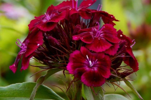 Hüsnü Yusuf Çiçeği Bakımı ve Çoğaltılması Nasıl Yapılır?