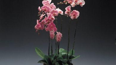 OrkideyeNasıl Çiçek Açtırılır, Nasıl Çoğaltılır?