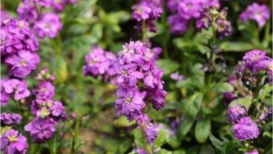 Şebboy Çiçeği Bakımı Nasıl Yapılır, Nasıl Çoğaltılır?