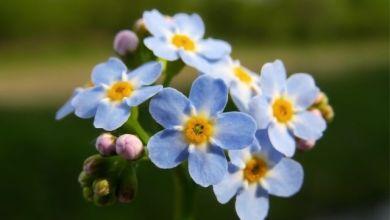 Unutma Beni Çiçeği Bakımı, Hikayesi ve Özellikleri Nelerdir?