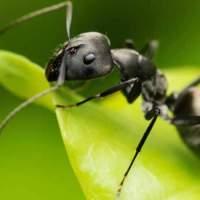 Yalnız Karıncalar Yanlış Beslenmeden Ölüyor