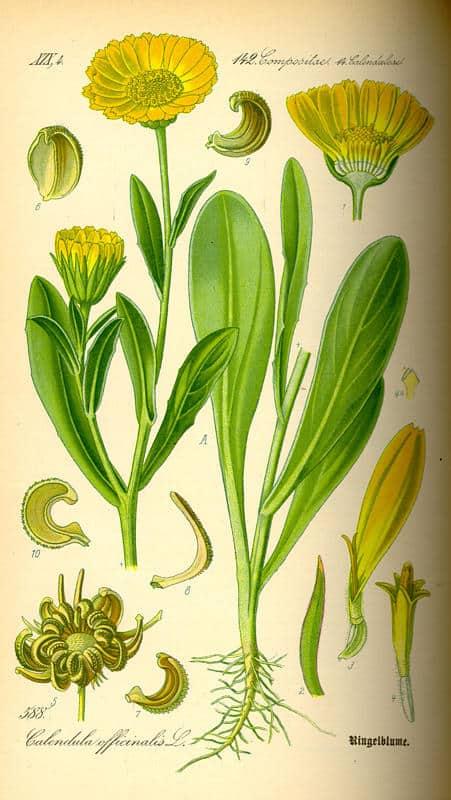 Calendula officinalis čaj