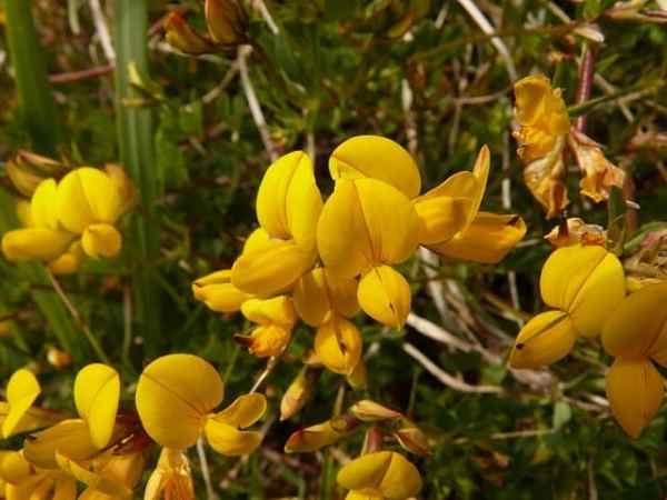 piskavica grcko sjeme cvijet