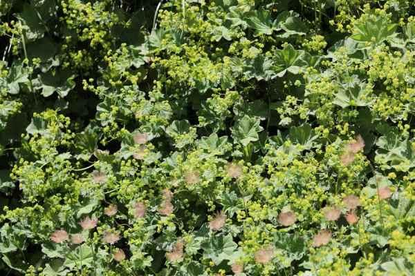 Alchemilla vulgaris Vrkutra Virak