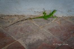 green-gecko-castillo-old-san-juan-puerto-rico