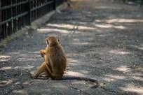 monkey-back-kandy-sri-lanka