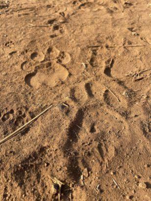 lion-tracks-tsavo