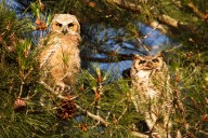 Adult and Baby Owls