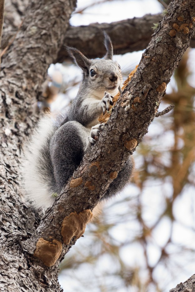 An Abert squirrel gnoshes on pine nuts in a northern Arizona Ponderosa pine tree. This photo was made with a Nikon D610 and 200-500mm f/5.6 at 480mm, f/5.6, ISO 1400, 1/125-second. It has been cropped and processed to taste in Adobe Lightroom. (Bill Ferris)
