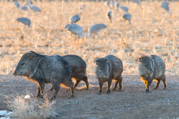 Javelina on parade. Photo made with Nikon D610 and Nikkor 200-500mm f/5.6E at 500mm, f/13, ISO 4500, 1/200-second
