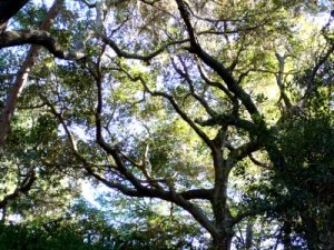 meandering branches in the oaks