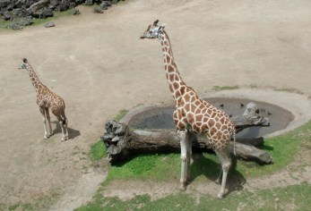 mom-and-kid-giraffe