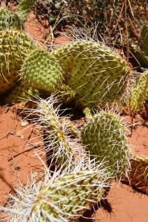 Native cacti