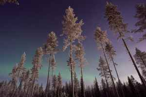 silver pines against the night sky