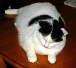 overweight black and white cat