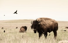 """Birds and Bison"" Tall Grass Prairie Preserve, north of Pawhuska, OK"