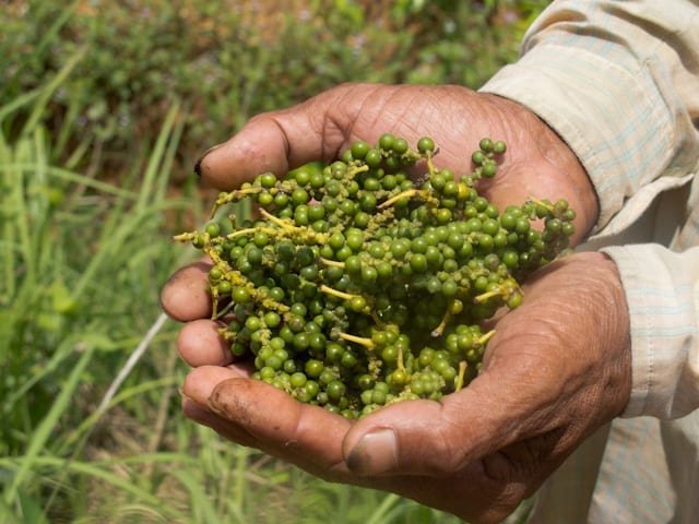 Kampot Pepper green