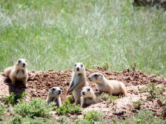 Devil's Tower - Prairie Dogs