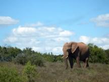 Addo - First Elephant
