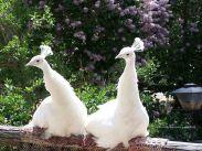 2e0968298781302bf963562a5dfcf248--peacock-bird-white-peacock