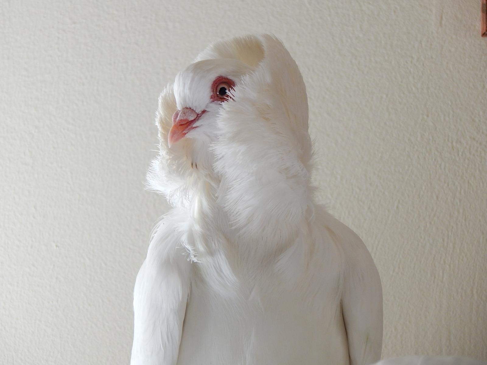 Old Dutch Capuchine – Fancy Pigeon