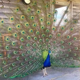 Monkshill-Peacock