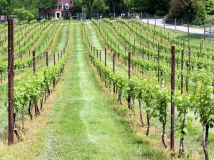 Casanel Vineyards and Winery Rows of Vines