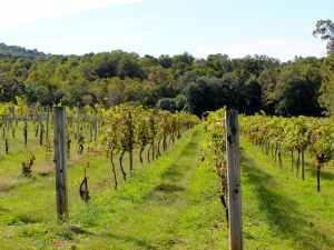 White Rock Vineyard