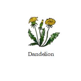 herb dandelion
