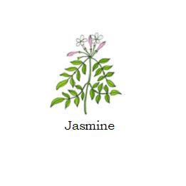 herb jasmine