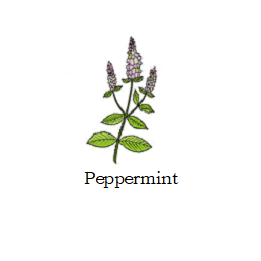 herb peppermint