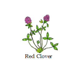 herb red clover