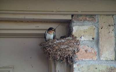 Swallows on the back porch