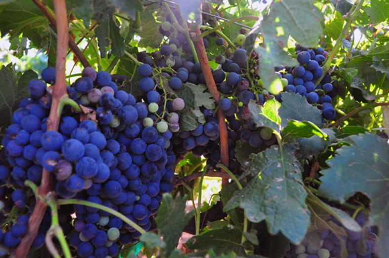 Waiting on the Grapes