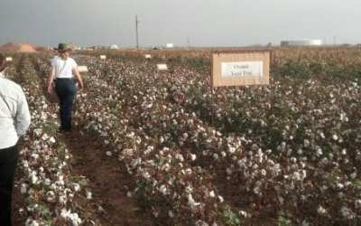More from the Cotton Research Center