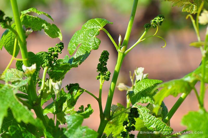 15.04.29_vineyards_018-web