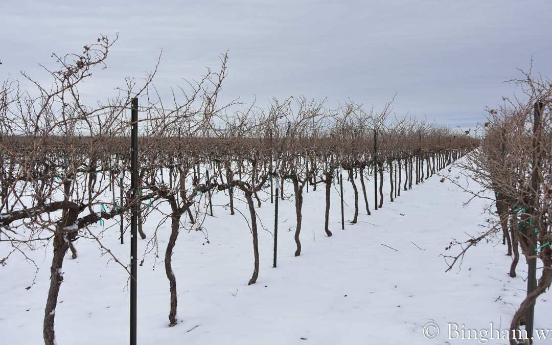 Snow in the Vineyards