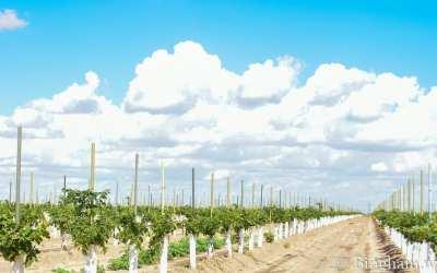 Bingham Family Vineyards Vineyard Update July 4, 2021