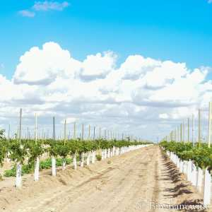 young vineyards plants in rows with grow tubes on them