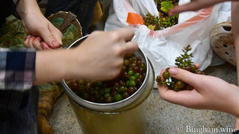 Juicing grapes with a cone strainer and pestle set after grapes are plucked from the stems.
