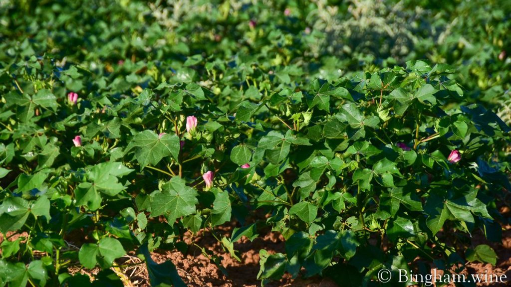 Pink cotton blooms showing through the cotton plant.