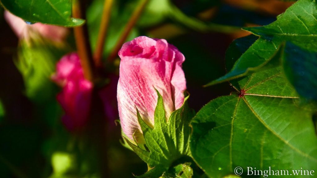 Pink cotton bloom showing through the cotton plant at Bingham Organic Farm.