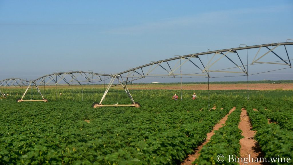 Workers hoeing in the organic cotton field at Bingham Organic Farm.