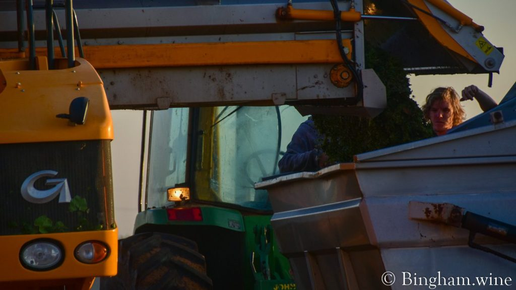 Grapes being unloaded from a grape harvester into a dump cart pulled by a small tractor.